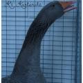 Rusische Gänse grau; v 97 LVP;Züchter: Gindner, Alexander